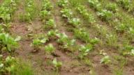 Cauliflower crop swaying through wind video
