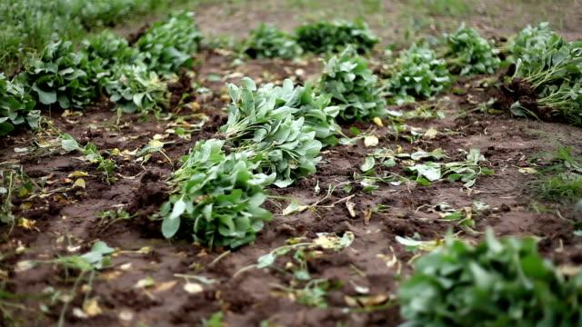 Cauliflower Field video