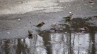 Cedar Waxwing birds are drinking from puddle (High Definition) video