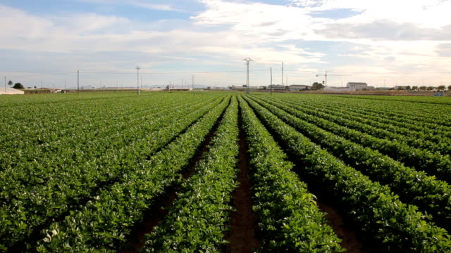 Celery growing in the summer sun on the field of a horticultural company video