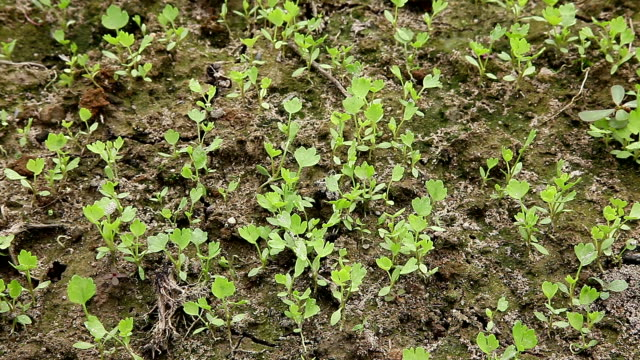 celery sapling in the field video