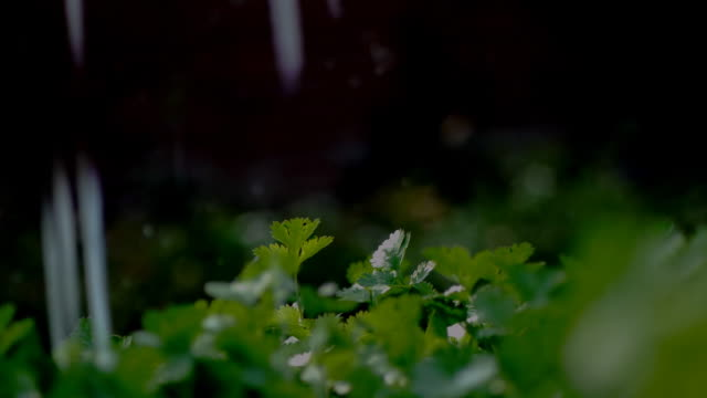 Celery seedling in the rain video