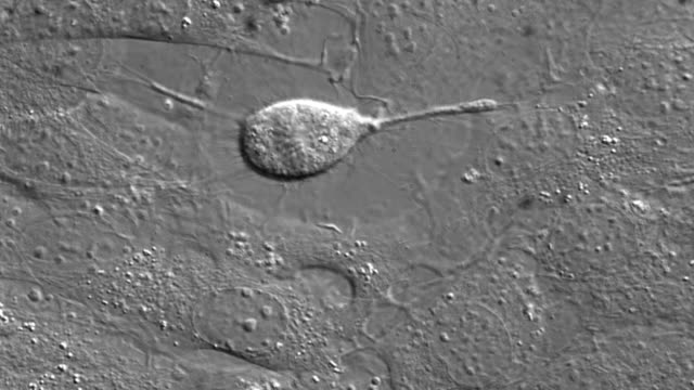 Cell division in cultured cells. video