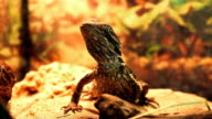 Central Bearded Dragon (Pogona Vitticeps) in Terrarium video