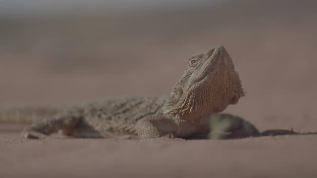 Central Bearded Dragon Lizard - Pagona Vitticeps video