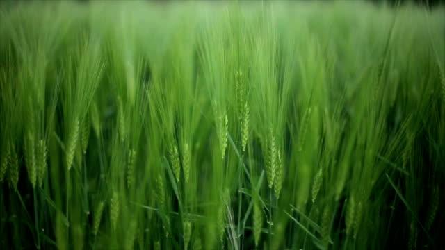 cereal, barley,close up video
