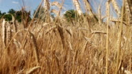 Cereal Field and Spikelets video