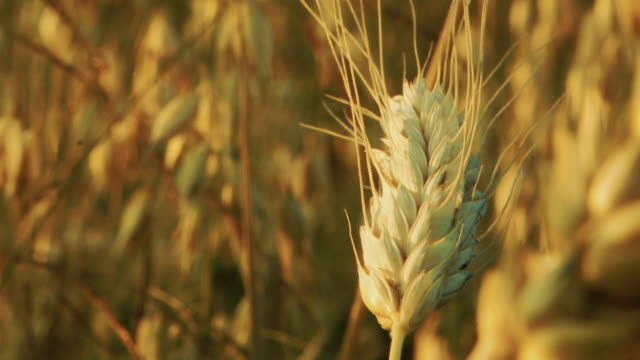 Cereal field at sunset. Ear closeup. Oat, wheat and barley. Shot during golden hour . Location - Poland. video