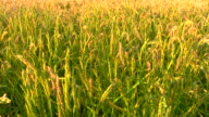 Cereal field - HD1080p video