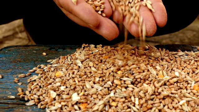 Cereals. Human hands with  wheat video