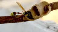 Ceriana wasp, Wasp-mimic Hoverfly (Hymenoptera Ceriana sp) video