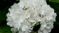 cetonia aurata flower video