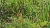 Ceylon junglefowl video