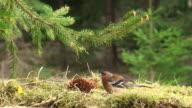 Chaffinch Feeding under the Spruce Tree video