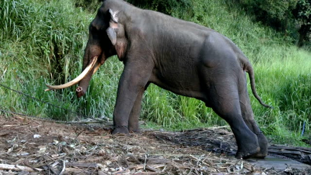 Chained stressed male elephant video