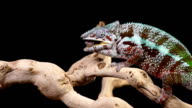 Chameleon Catching A Bug Slow Motion video