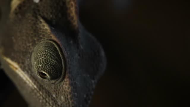 Chameleon close up video: like a Dinosaur video