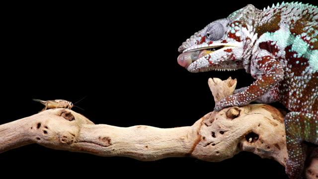 Chameleon Eating Slow Motion video