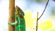 Chameleon in Reunion Island video