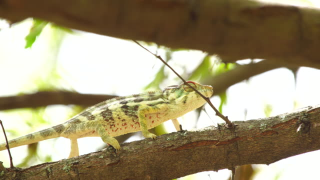 Chameleon on acacia tree - Panther chameleon (Furcifer pardalis) video