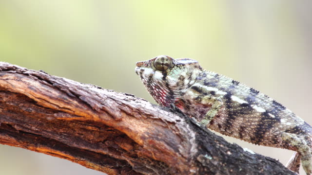 Chameleon on acacia tree - Panther chameleon (Furcifer pardalis) video