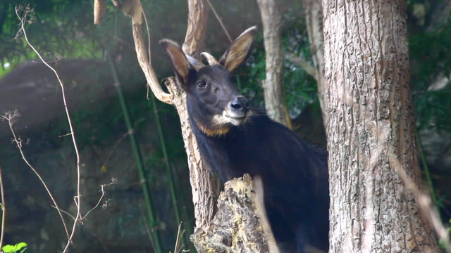 chamois in forest, Thailand video