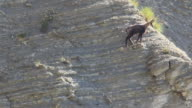 Chamois walking on the edge HD video