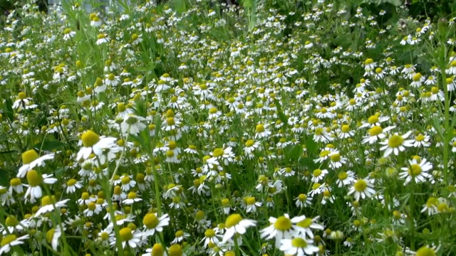 Chamomile flower. Alternative medicine ingredient grow in garden video