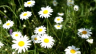 Chamomile flower video
