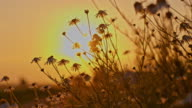 CU Chamomile flowers at sunset video