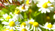 Chamomile flowers in group 4K video