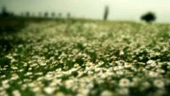 Chamomile flowers on a summer meadow video