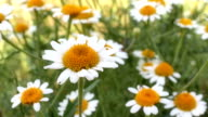 chamomile in meadow video