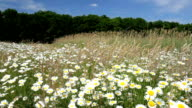 Chamomile on a meadow. video