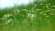 Chamomile plants in the field video