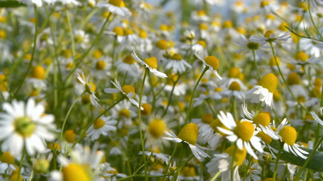 HD DOLLY: Chamomile Plants video