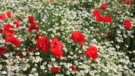 Chamomiles and corn poppies (Panning) video