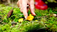 Chanterelles - Harvesting video