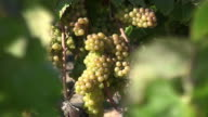 Chardonnay grapes before harvest video