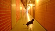 A charming and beautiful small dog squeeling and running after a ball in a corridor video