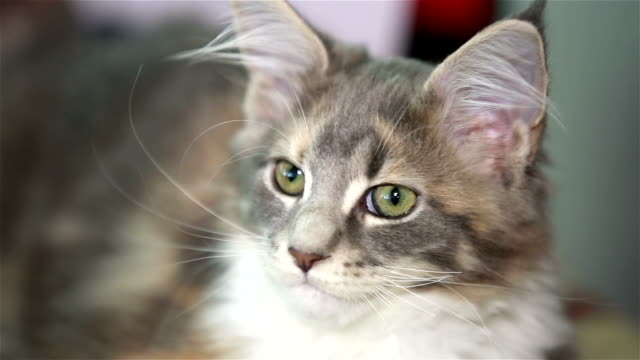 Charming fluffy kitten Maine Coon. video