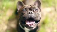 Charming French Bulldog video