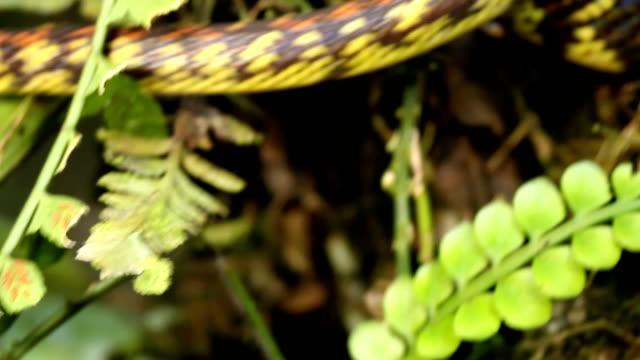 Checkerbelly Snake (Siphlophis cervinus) video