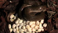 checkered keel back snake Incubation of Eggs video
