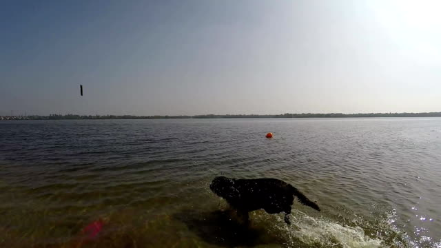 cheerful brown labrador play in water video