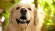 Cheerful Golden Retriever Dog video