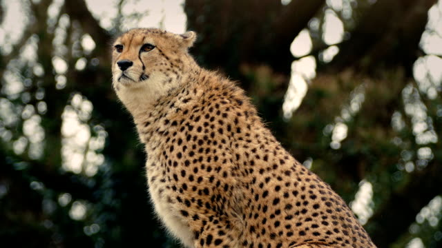 Cheetah Alert And Looking Around video
