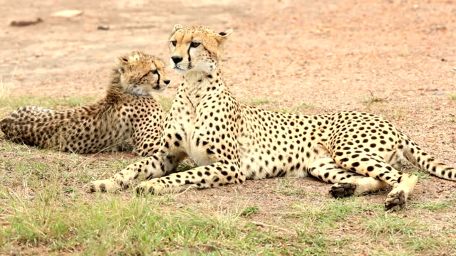 Cheetah and Cub video