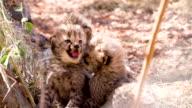 MS Cheetah Cubs video