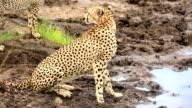 Cheetah drinking and watching video